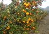 Povjerenstvo za mandarine: Za sorte zorica rana, ichimaru i iwasaki preporuča se početak berbe 25. rujna 2019. godine